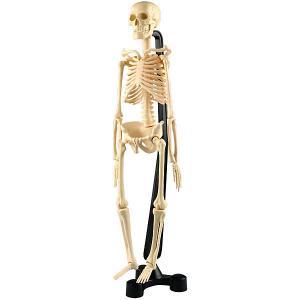 Анатомический набор Edu Toys Скелет, 46 см Edu-Toys